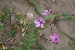 Reigersbek bloem