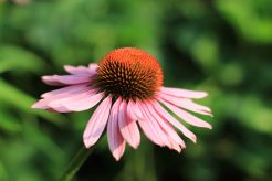 Zonnehoed / Echinacea
